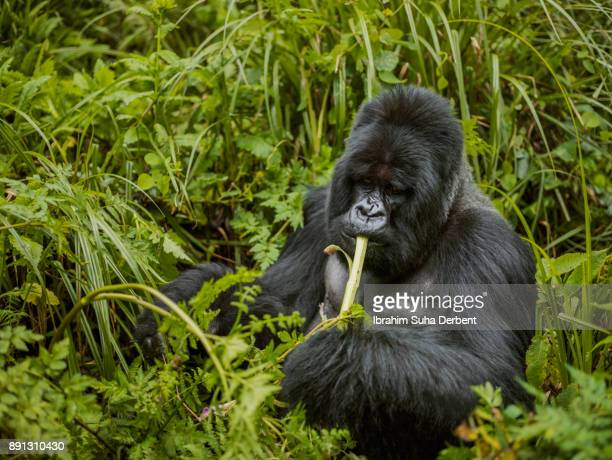 Mountain gorilla is sitting in leaves surrounded by trees.