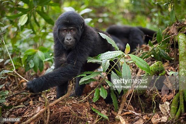 Mountain gorilla juvenile, Volcanoes National Park, Rwanda