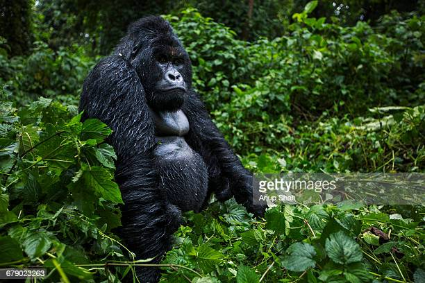 mountain gorilla male silverback sitting portrait - virunga national park stock pictures, royalty-free photos & images
