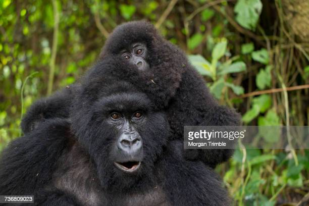 Mountain gorilla mother and young, Gorilla beringei beringei, Virunga National Park, Parq National des Virunga, Democratic Republic of Congo