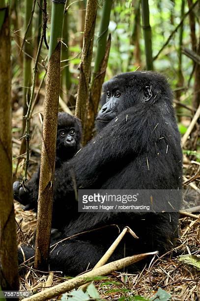 Mountain gorilla mother holding infant facing her, Sabynyo group, Volcanoes National Park, Rwanda, Africa