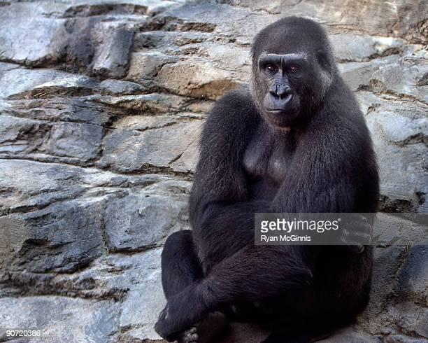 mountain gorilla - ryan mcginnis stock photos and pictures