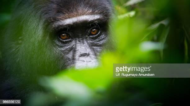 mountain gorilla - gorille photos et images de collection