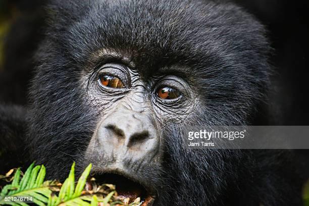Mountain gorilla portrait, close-up