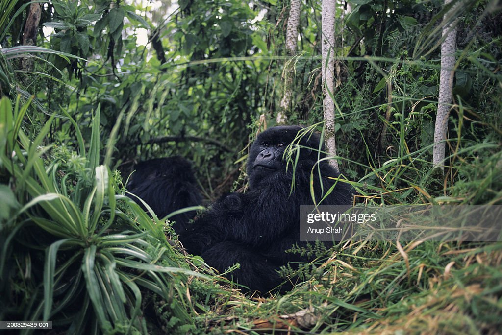 Mountain gorilla (Gorilla gorilla berengei) reclining amongst greenery, Park du Volcanes, Rwanda : Stock Photo