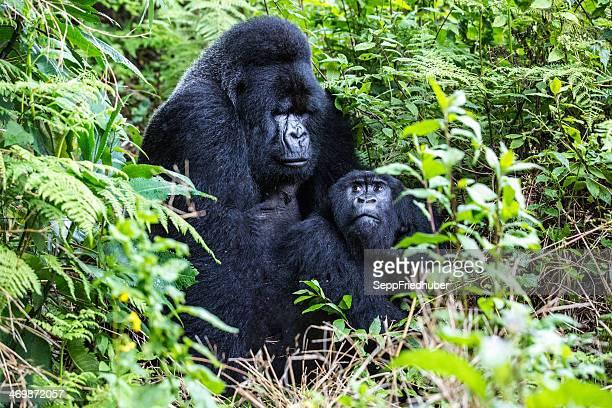 Mountain Gorilla Silverback mating Rwanda