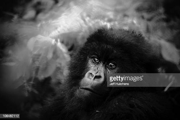 A mountain gorilla sits in the midst of the dense forest of Volcanoes National Park in the mountains of Rwanda home to a gorilla population under...