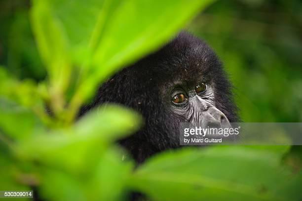 Mountain gorilla, Virunga National Park, Democratic Republic of Congo.