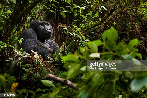 mountain gorilla, volcanoes national park, rwanda - nature reserve stock pictures, royalty-free photos & images