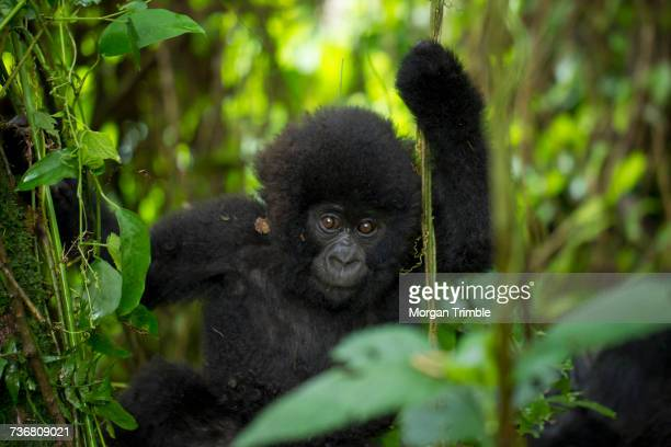 Mountain gorilla youngster playing on vines, Gorilla beringei beringei, Virunga National Park, Parq National des Virunga, Democratic Republic of Congo