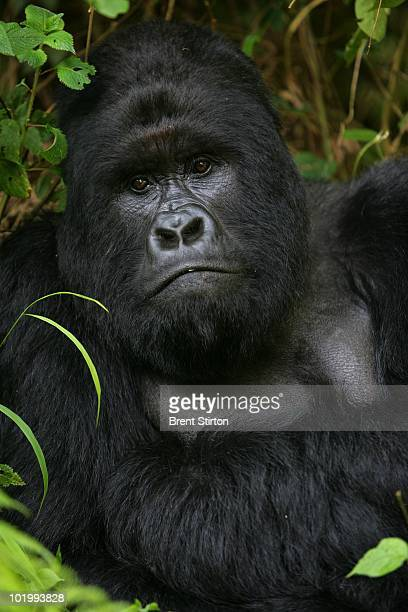 Mountain Gorillas and Congolese Conservation Rangers from the Bukima area of Virunga National Park July 23 2007 in Eastern Congo Congolese...