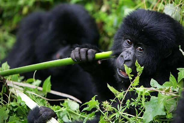Gorillas New Threat of Extinction