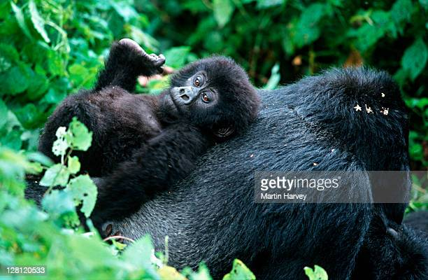 mountain gorillas, gorilla gorilla beringei. juvenile resting on silverback. endangered distribution: rwanda, uganda, drc p. n. des volcans, rwanda localised: rwanda, western uganda, eastern drc - rwanda stock pictures, royalty-free photos & images