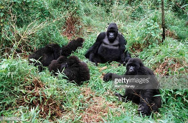 mountain gorillas, gorillagorilla beringei. family interaction during midday rest. endangered.distribution: rwanda, uganda,drc (democratic republic of congo) af_gor_m_029 - rwanda stock pictures, royalty-free photos & images