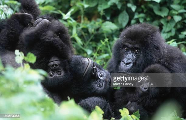 Mountain Gorillas, Gorillagorilla beringei. Familyinteraction during middayrest. Endangered.Distribution: Rwanda, Uganda,DRC. (Democratic Republic ofCongo) AF_GOR_M_031
