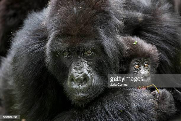 Mountain gorillas in the jungle of Rwandas Virunga Mountains.