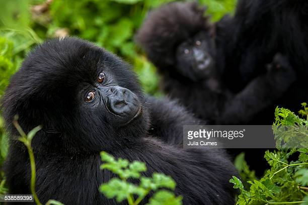 Mountain gorillas in the jungle of Rwandas Virunga Mountains.