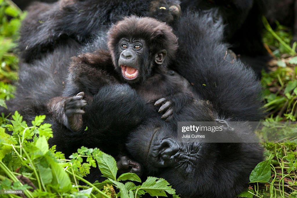 Mountain gorillas in the jungle of Rwandas Virunga Mountains. : Stock-Foto