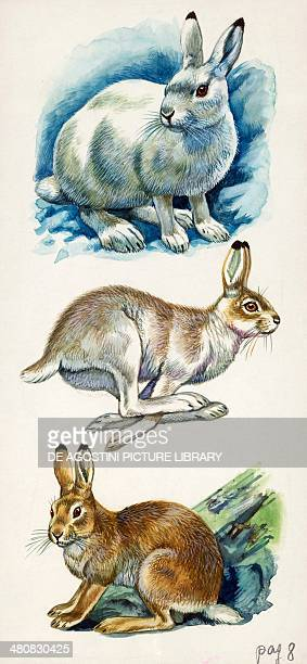 Mountain Hare Coat color mutation depending on seasons white gray and brown illustration