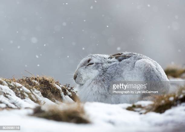 A mountain hare hunkers down in a snow storm