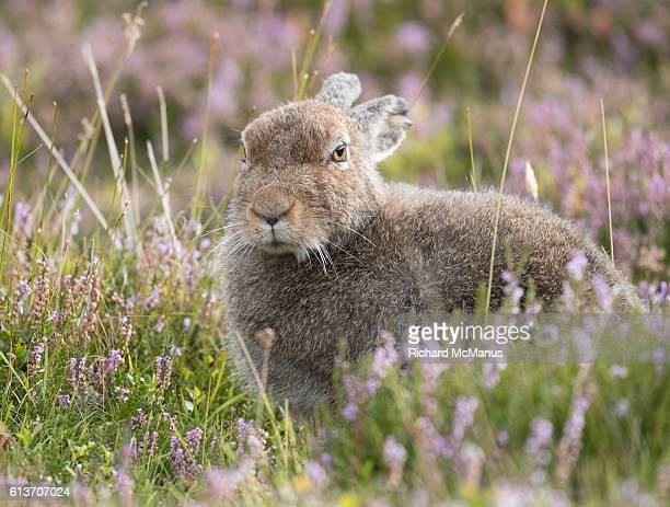 mountain hare in heather. - hare stock pictures, royalty-free photos & images