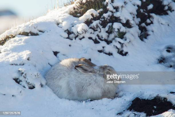 mountain hare in snow (close-up) - peak district national park stock pictures, royalty-free photos & images