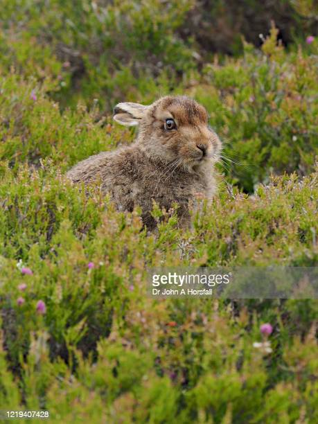 a mountain hare rests among heather - central scotland stock pictures, royalty-free photos & images