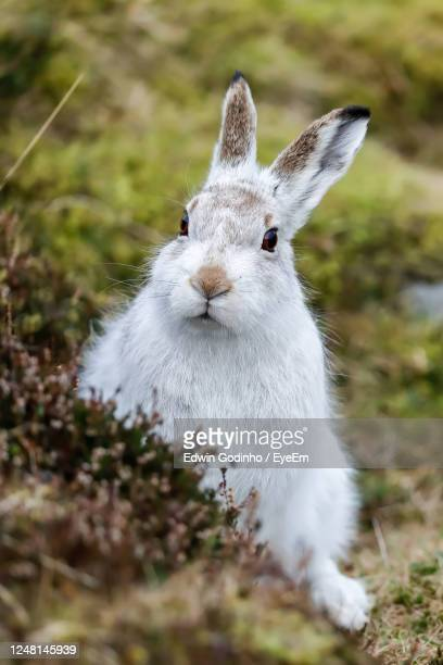 a mountain hare up close - scotland stock pictures, royalty-free photos & images