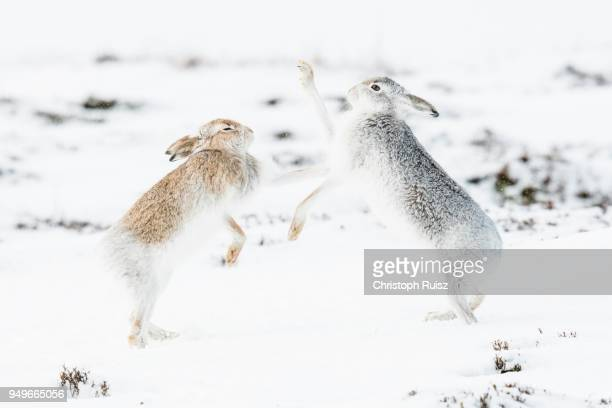 Mountain hares (Lepus timidus) boxing in the snow, behavior. hierarchy, winter coat, Cairngroms National Park, Highlands, Scotland, Great Britain