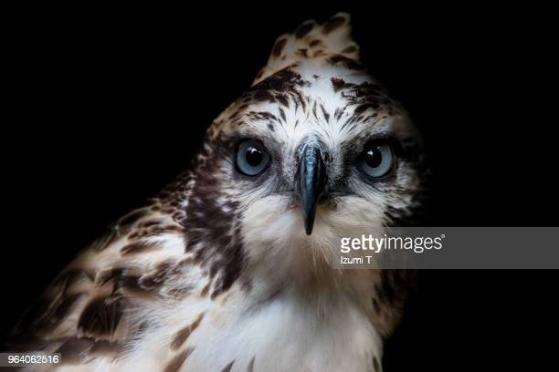 mountain hawk - hawk bird stock photos and pictures