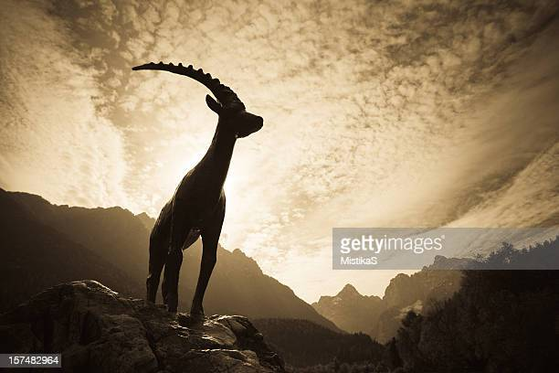 Mountain Ibex