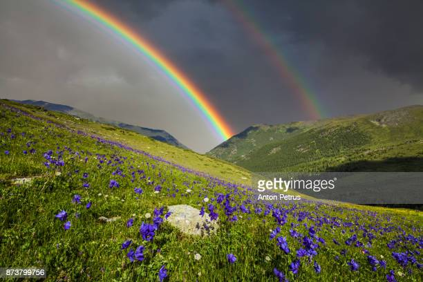 mountain landscape with a rainbow over flowers. - heather storm stock photos and pictures