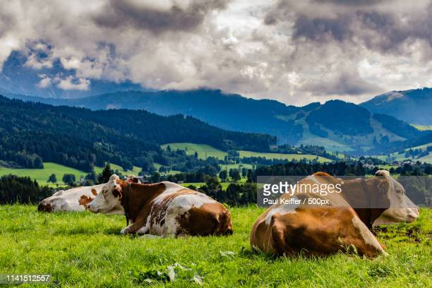 mountain landscape with cows on meadow - keiffer stock-fotos und bilder