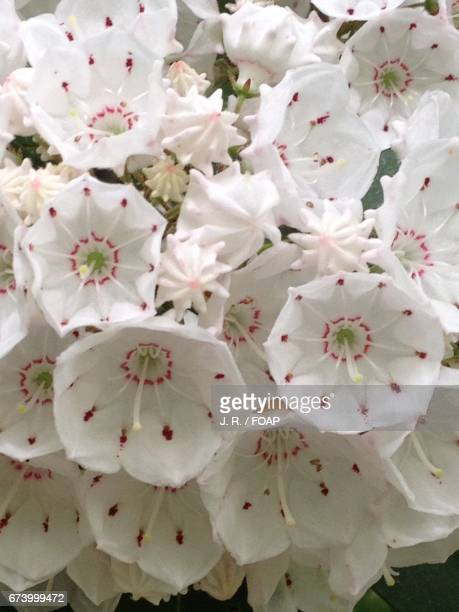 mountain laurel blooming at outdoors - mountain laurel stock pictures, royalty-free photos & images