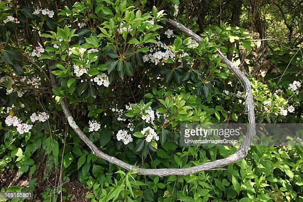 Mountain laurel blooms during spring in Shenandoah National Park in the Blue Ridge Mountains of Virginia