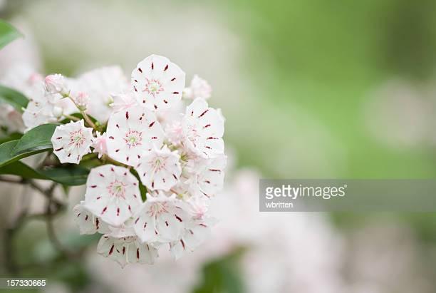 mountain laurel bouquet - mountain laurel stock pictures, royalty-free photos & images