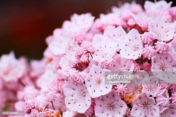 mountain laurel flowers - mountain laurel stock pictures, royalty-free photos & images