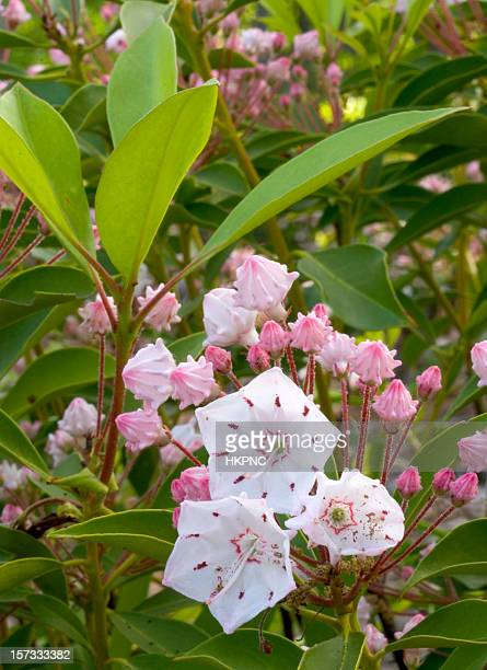 mountain laurel framed with leaves. - mountain laurel stock pictures, royalty-free photos & images