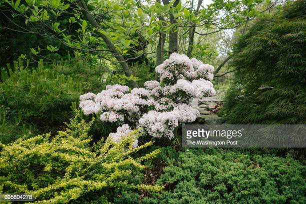 Mountain Laurel grows in the garden of Jenny Rose Carey in Ambler Pennsylvania on Friday May 26 2017 Carey released a book this year called Glorious...
