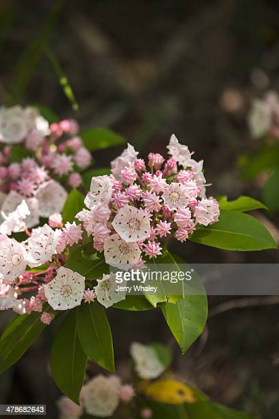 mountain laurel - mountain laurel stock pictures, royalty-free photos & images