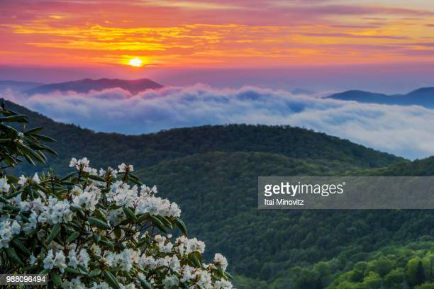 mountain laurel.no2 - mountain laurel stock pictures, royalty-free photos & images