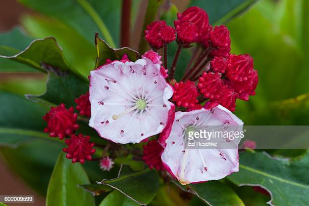 mountain laurel--ostbo red cultivar - mountain laurel stock pictures, royalty-free photos & images