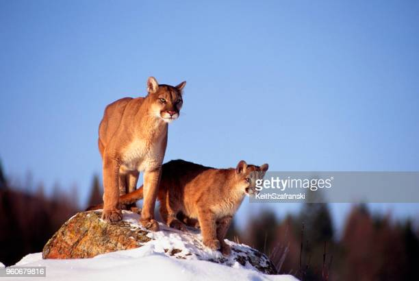 mountain lion and cub - puma stock photos and pictures