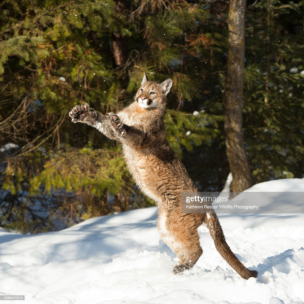 Mountain Lion Cub : Stock Photo