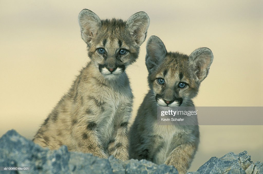 Mountain lion (Felis concolor) cubs, close-up : Stockfoto