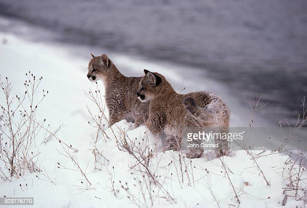 Mountain Lion Cubs in the Snow