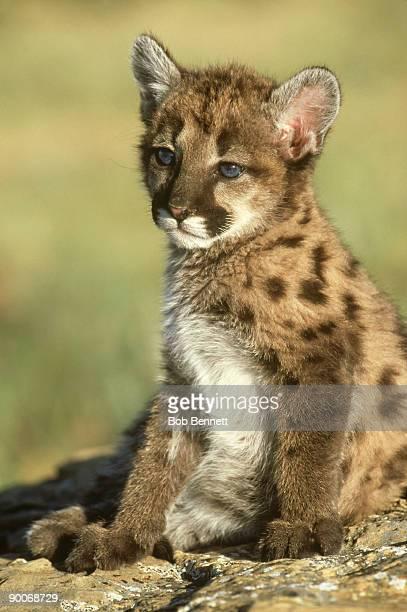 mountain lion, felis concolor, cub