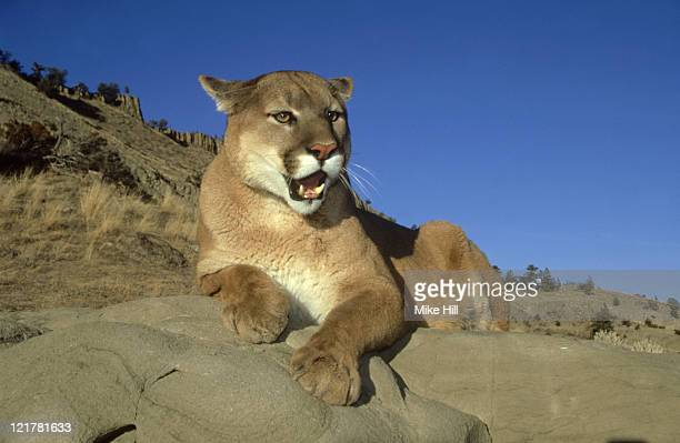 mountain lion (cougar,puma): felis concolor  on rocks  monta na, usa     - carnivora stock photos and pictures