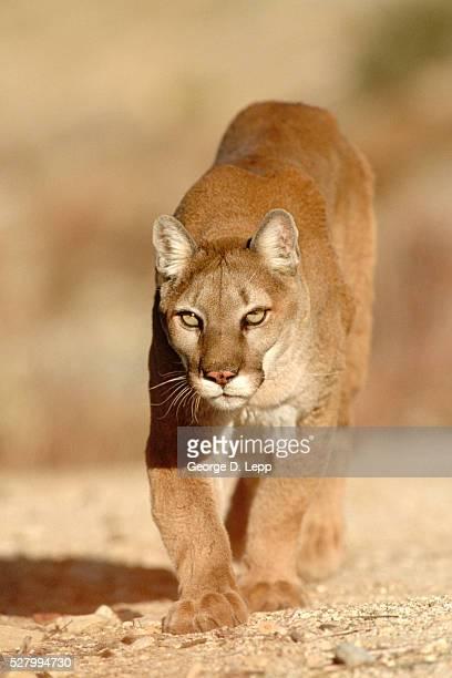 Mountain Lion Felis Concolor Stalking