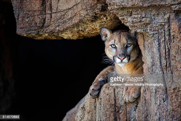 mountain lion in cave - lion cub stock photos and pictures